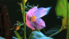 Flower - Slow Timelapse 2 - Pink flower blooming Stock Footage