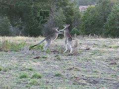 boxing kangaroos - stock footage