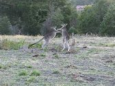 Stock Video Footage of boxing kangaroos