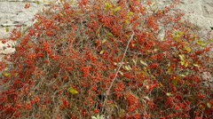 Red fruit bushes on stone wall. Stock Footage