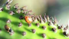 Lady Bug on Cactus up close with Macro lens Stock Footage