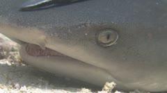Whitetip Reef Shark Stock Footage