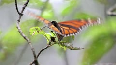 Monarca Butterfly Slow Motion Stock Footage
