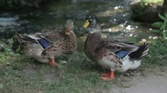 Two Ducks Stock Footage