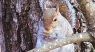 Stock Video Footage of Squirrel Eating