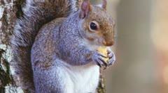 Squirrel Acorn Stock Footage