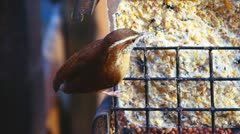 Wren Eating Suet  Stock Footage