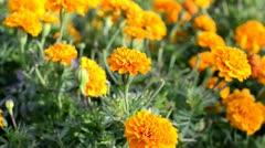 Orange Flowers in a Garden Stock Footage