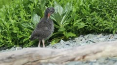 Black Oystercatcher chick Stock Footage