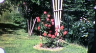 Flower Rose Garden Circa 1955 (Vintage Film Home Movie Footage) 1965 Stock Footage