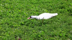 Poultry and grass - stock footage