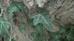 Ivy on Tree Bark Stock Footage