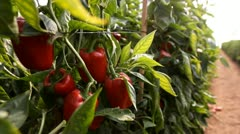 Organic plants greenhouse food agriculture red sweet pepper Stock Footage