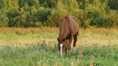 Horse feeding on meadow Stock Footage