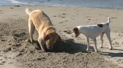 Dog Digging Hole 2 - stock footage
