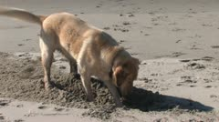 Dog Digging Hole - stock footage