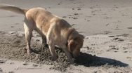 Stock Video Footage of Dog Digging Hole