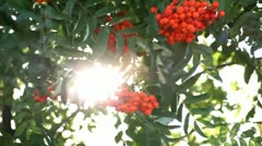 Rowan branch with the rays of the sun Stock Footage
