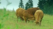 Cows is grazing in the meadow Stock Footage