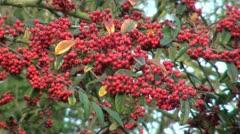 Red Winter Berries Stock Footage