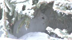 Snowshoe Hare in Snowy Hiding Place Runs Away - stock footage