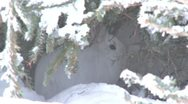 Stock Video Footage of Snowshoe Hare in Snowy Hiding Place Runs Away
