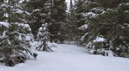 Stock Video Footage of Man Hunting Xmas Tree in Snowy Spruce Forest 1