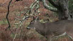 Whitetail buck rut behavior - stock footage