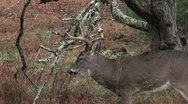 Stock Video Footage of Whitetail buck rut behavior