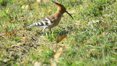 Hoopoe bird 03 Stock Footage