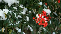 Nandia Bush in Snow - stock footage