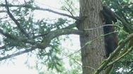 Black Bear Climbing Tree Stock Footage