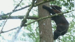 Black Bear Up Climbing Tree - stock footage