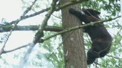 Black Bear Climbing Up Tree Stock Footage
