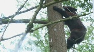 Stock Video Footage of Black Bear Up Climbing Tree