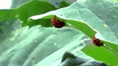 2 lady-beetles on a leaf Stock Footage