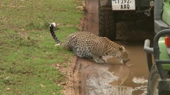 Leopard Stock Footage