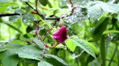 The wild dogrose, flower absolutely young, only has appeared Stock Footage
