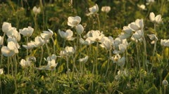 Wood Anemones on meadow Stock Footage