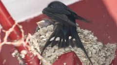 Swallow Stock Footage