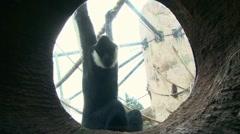 Monkey Swinging 3 Stock Footage
