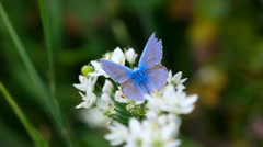 Blue butterfly and fly. - stock footage