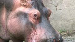 Hippo 1 Stock Footage