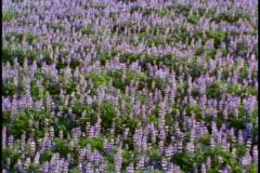 A field of purple wildflowers Stock Footage