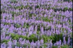 A field of purple wildflowers - stock footage