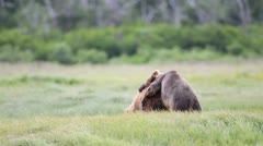 Stock Video Footage of Bears fighting
