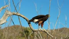 Hawk Flight Slow Motion Stock Footage