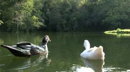 Stock Video Footage of Ducks in the lake