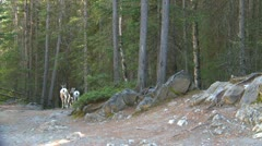 Nature, mountain sheep scampering down trail in forest Stock Footage