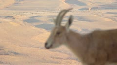 Young deer in the desert- close up-Change Focus Stock Footage
